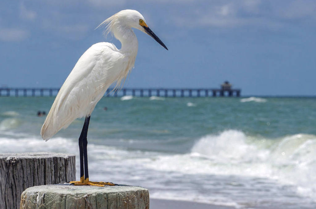 Egret on the Beach in Naples FL